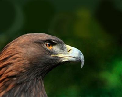 Aquila reale in difficoltà salvata dagli esperti del PNAB