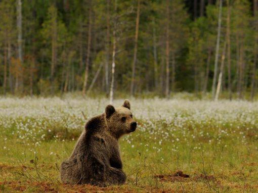 """""""Orso bruno, la convivenza possibile"""": un convegno nazionale a Trento"""