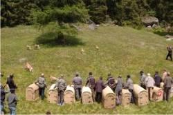 rilascio di stambecchi in Val Genova (F.Zibordi)