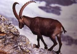 maschio adulto di stambecco (L.Pedrotti)