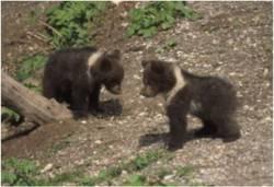 due cuccioli di orso (Fedrizzi)