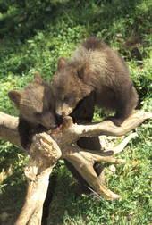 cuccioli di orso (Fedrizzi)