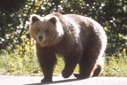 femmina adulta di orso bruno (G.Volcan)
