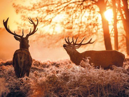 Nel bosco di notte per ascoltare il bramito del cervo