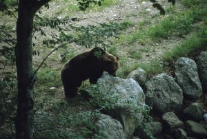 Ursus Arctos photo by Pino Oss