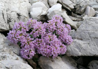 BioMiti_Thlaspi rotundifolium_a