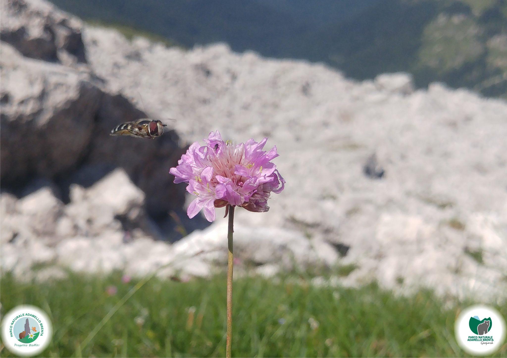 BioMiti_Armaria_alpina
