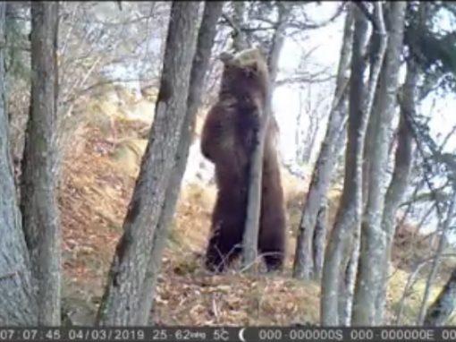L'orso si gratta e il video del Parco diventa virale!