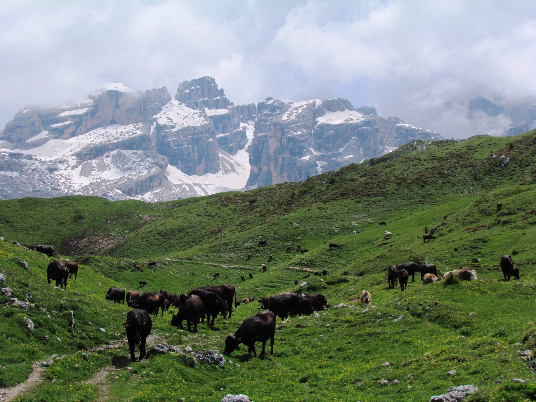 Vacche di razza Rendena