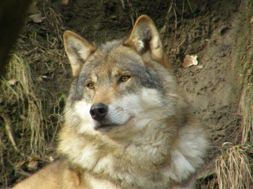 Al lupo! Al lupo! Una nuova presenza nel Parco Adamello Brenta: intervista allo zoologo Mustoni
